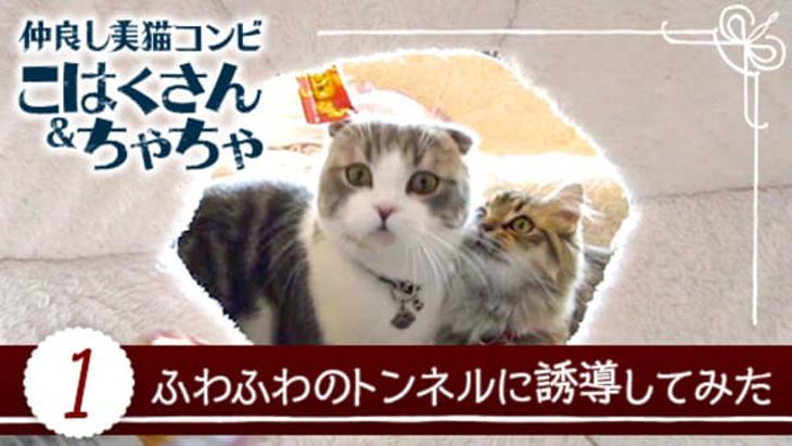 VR動画:#1 ふわふわのトンネルに誘導してみた / 仲良し美猫コンビ こはくさん&ちゃちゃ