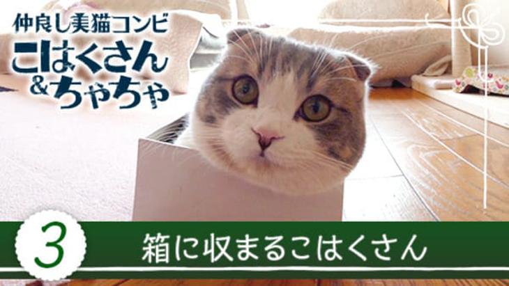 VR動画:#3 箱に収まるこはくさん / 仲良し美猫コンビ こはくさん&ちゃちゃ