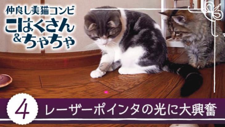 VR動画:#4 レーザーポインタの光に大興奮 / 仲良し美猫コンビ こはくさん&ちゃちゃ