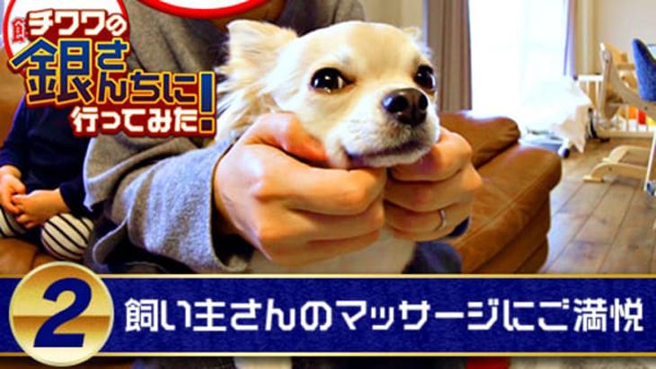 VR動画:#2 飼い主さんのマッサージにご満悦 / チワワの銀さんちに行ってみた!