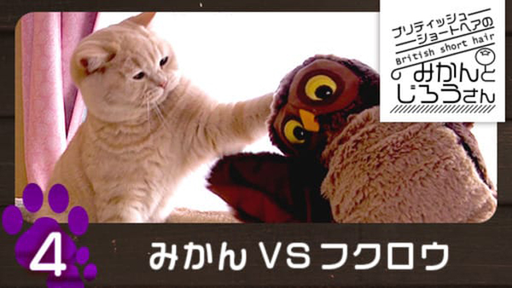 VR動画:#4 みかんVSフクロウ / ブリティッシュショートヘアのみかんとじろうさん