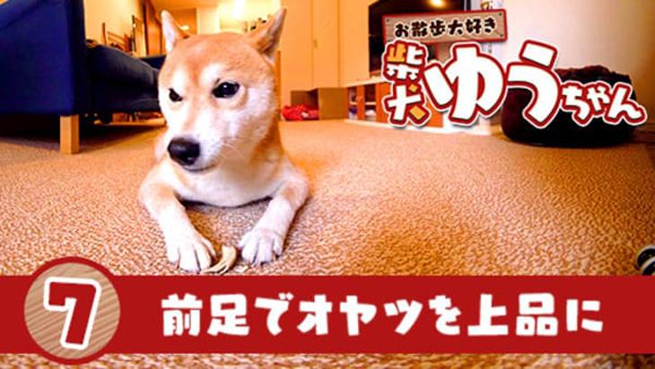VR動画:#7 前足でオヤツを上品に / おさんぽ大好き 柴犬ゆうちゃん