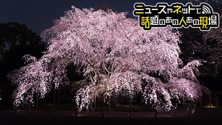VR動画:しだれ桜 ライトアップ(六義園)