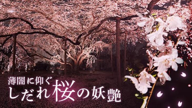 VR動画:薄闇に仰ぐ しだれ桜の妖艶