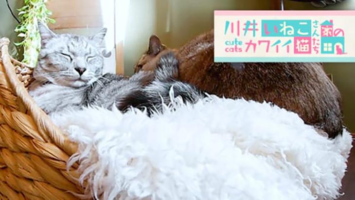 VR動画:#5 お気に入りの場所でまったり / 川井いねこさん家のカワイイ猫たち