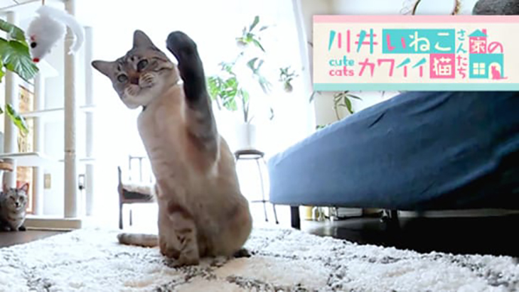 VR動画:#7 ねずみ型の猫じゃらしにパンチ! / 川井いねこさん家のカワイイ猫たち