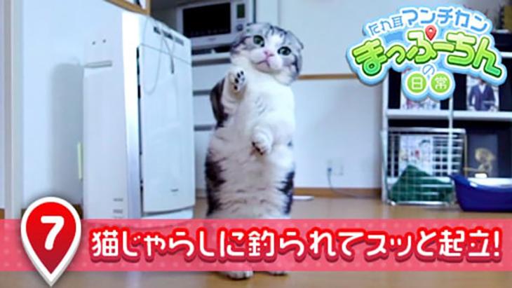 VR動画:#7 猫じゃらしに釣られてスッと起立! / たれ耳マンチカン まっぷーちんの日常