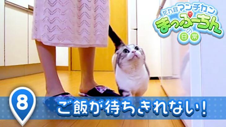 VR動画:#8 ご飯が待ちきれない! / たれ耳マンチカン まっぷーちんの日常