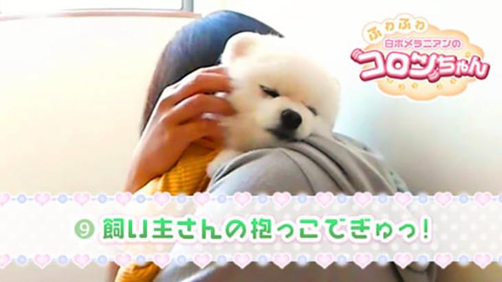 VR動画:#9 飼い主さんの抱っこでぎゅっ! / ふわふわ白ポメラニアンのコロンちゃん