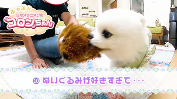 VR動画:#10 ぬいぐるみが好きすぎて・・・ / ふわふわ白ポメラニアンのコロンちゃん