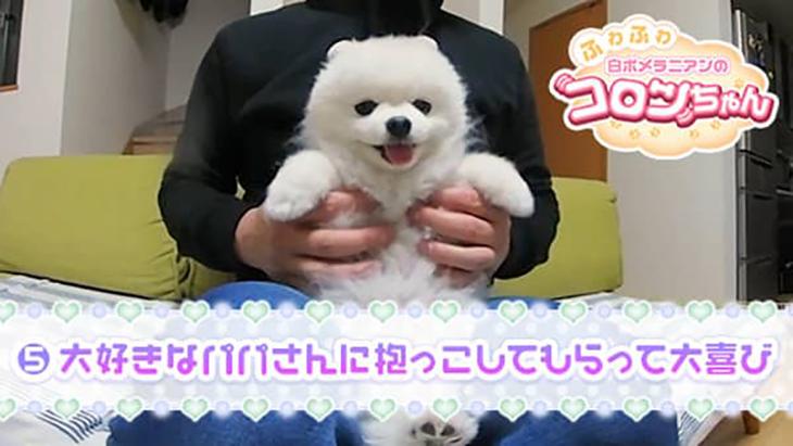VR動画:#5 大好きなパパさんに抱っこしてもらって大喜び / ふわふわ白ポメラニアンのコロンちゃん