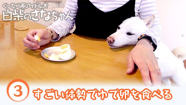 VR動画:#3 すごい体勢でゆで卵を食べるさなちゃん / ぐーたら系アイドル犬 白柴のさなちゃん