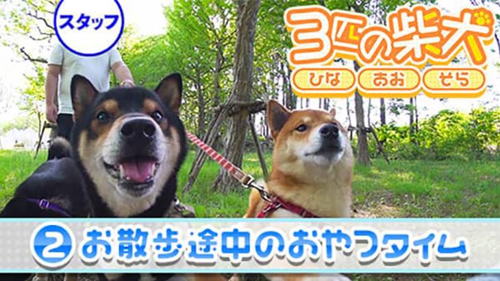 VR動画:#2 お散歩途中のおやつタイム / 3匹の柴犬ひなあおそら