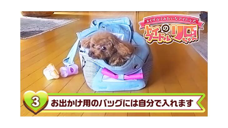 VR動画:#3 お出かけ用のバッグには自分で入れます / トイプードルのリロちゃん