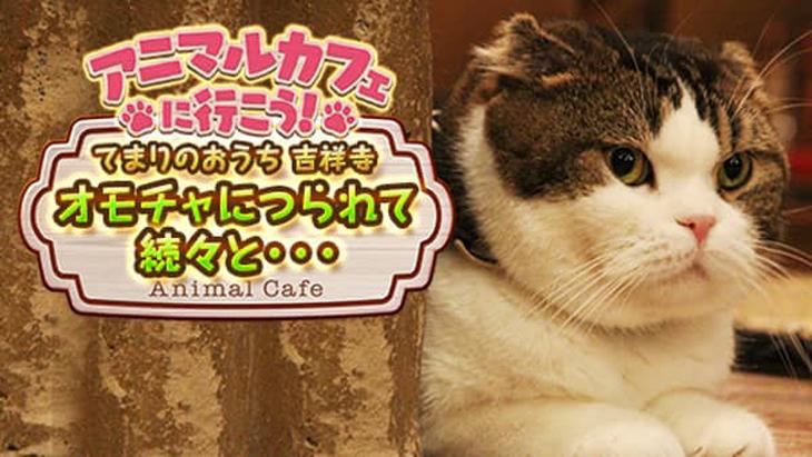 VR動画:【猫カフェ】てまりのおうち④オモチャにつられて続々と・・・