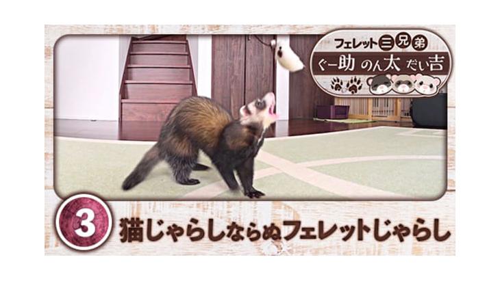 VR動画:#3 猫じゃらしならぬフェレットじゃらし / フェレット三兄弟