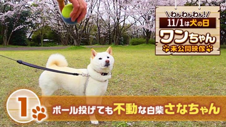 VR動画:#1 ボール投げても不動な白柴さなちゃん / ワンちゃん未公開映像