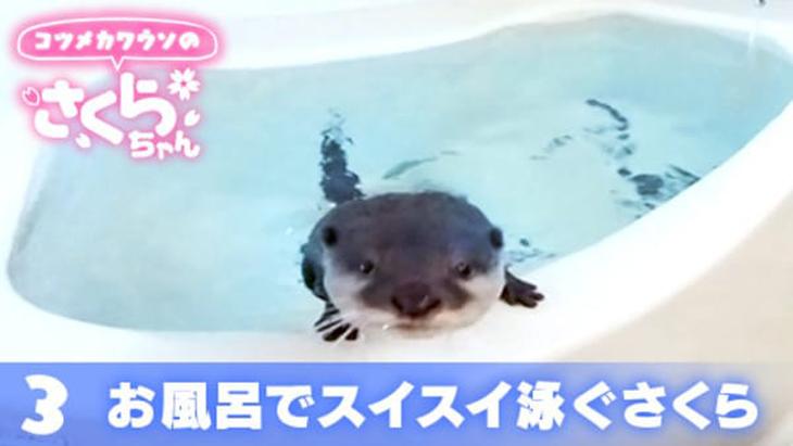 VR動画:#3 お風呂でスイスイ泳ぐさくら / コツメカワウソのさくらちゃん