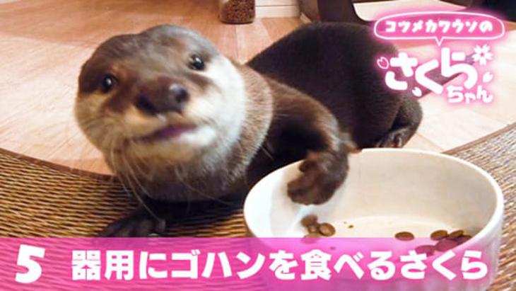 VR動画:#5 器用にゴハンを食べるさくら / コツメカワウソのさくらちゃん