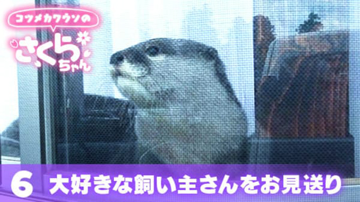 VR動画:#6 大好きな飼い主さんをお見送り / コツメカワウソのさくらちゃん