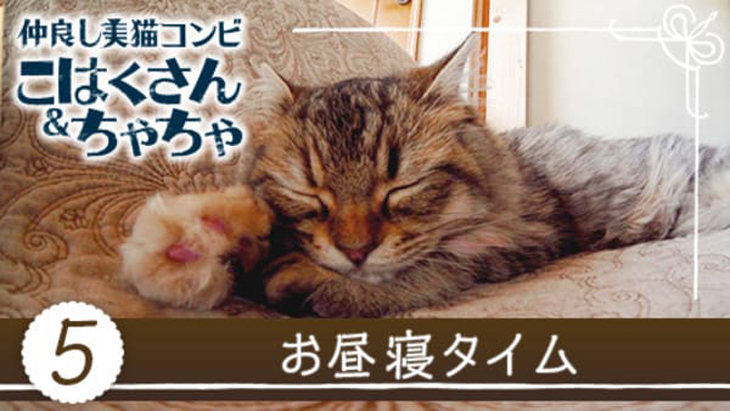 VR動画:#5 お昼寝タイム / 仲良し美猫コンビ こはくさん&ちゃちゃ