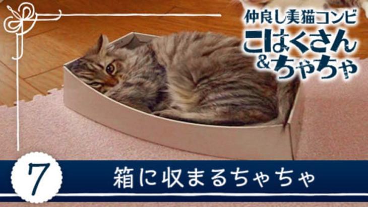 #7 箱に収まるちゃちゃ / 仲良し美猫コンビ こはくさん&ちゃちゃ