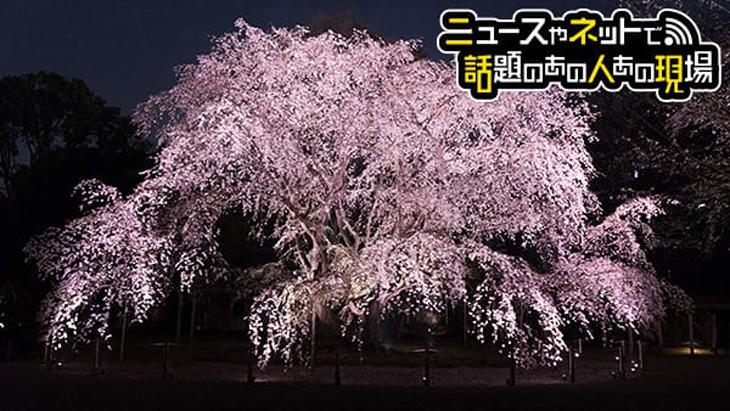 しだれ桜 ライトアップ(六義園)