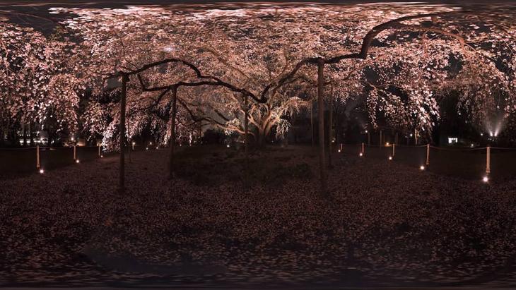 薄闇に仰ぐ しだれ桜の妖艶:1枚目