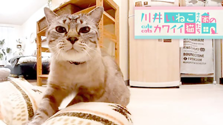 #1 何故か毛布をもみもみ / 川井いねこさん家のカワイイ猫たち