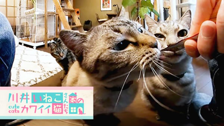 VR動画:#6 液状タイプのおやつに集まる猫ちゃん達 / 川井いねこさん家のカワイイ猫たち