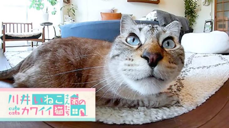 #8 絨毯の上でくつろぎタイム / 川井いねこさん家のカワイイ猫たち