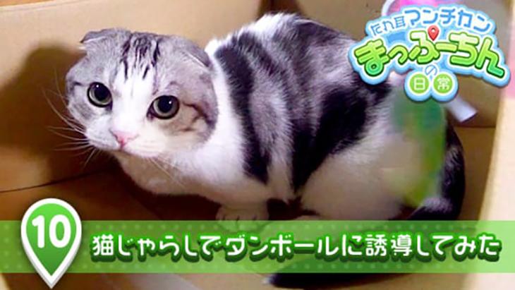 VR動画:#10 猫じゃらしでダンボールに誘導してみた / たれ耳マンチカン まっぷーちんの日常