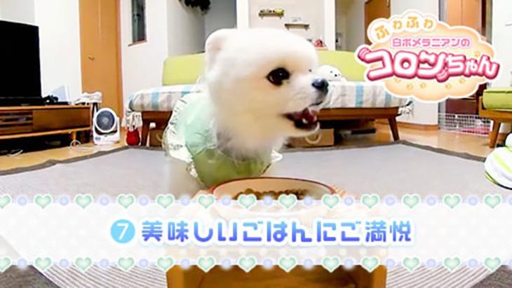 VR動画:#7 美味しいごはんにご満悦 / ふわふわ白ポメラニアンのコロンちゃん