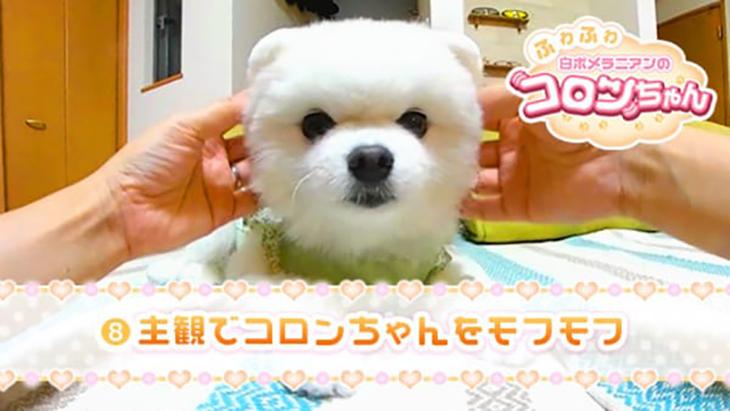 VR動画:#8 主観でコロンちゃんをモフモフ / ふわふわ白ポメラニアンのコロンちゃん