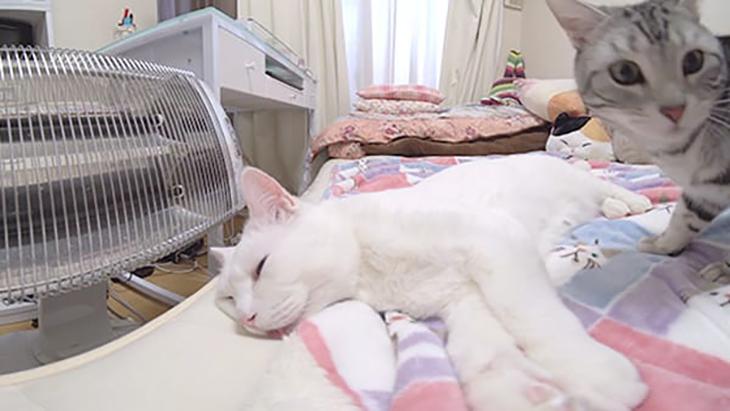 #12 セツくんの熟睡を邪魔する黒猫ヨミとアメショのコウ / セツくんと愉快な仲間たち:2枚目