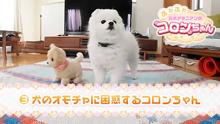 VR動画:#3 動く犬のお人形に困惑するコロンちゃん / ふわふわ白ポメラニアンのコロンちゃん