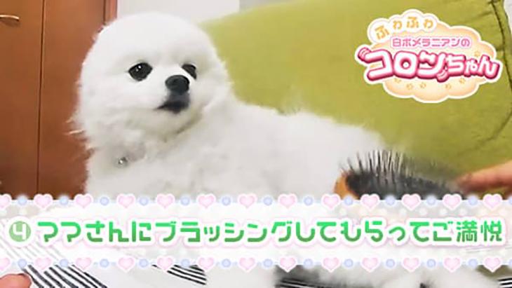 VR動画:#4 ママさんにブラッシングしてもらってご満悦 / ふわふわ白ポメラニアンのコロンちゃん