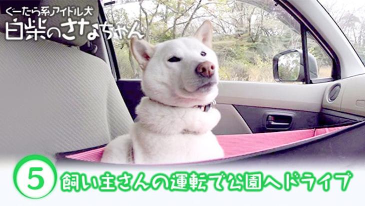 #5 飼い主さんの運転で公園へドライブ / ぐーたら系アイドル犬 白柴のさなちゃん