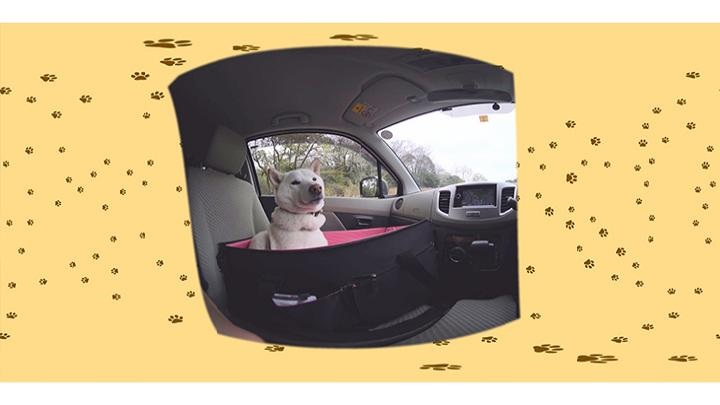 #5 飼い主さんの運転で公園へドライブ / ぐーたら系アイドル犬 白柴のさなちゃん:2枚目
