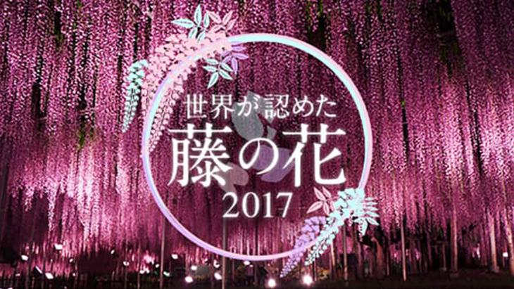 世界が認めた藤の花 2017