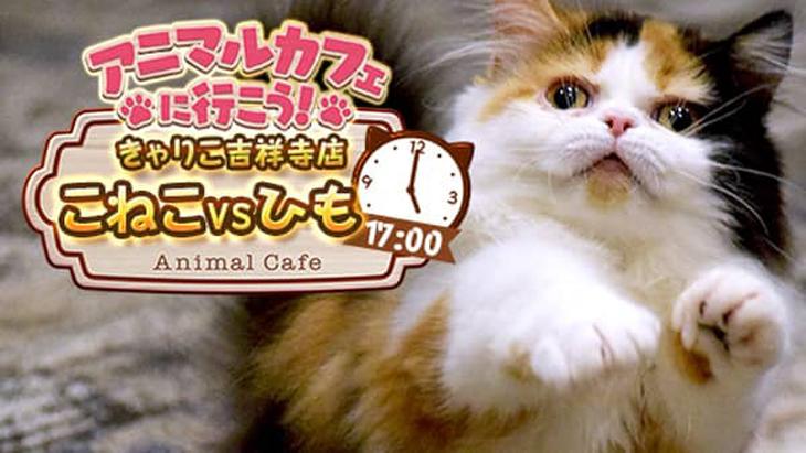 VR動画:【猫カフェ】きゃりこ吉祥寺店④こねこ vs ひも