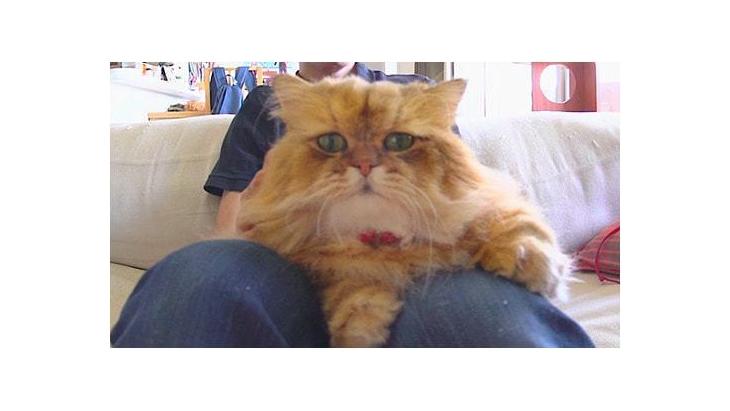 #8 飼い主さんのお膝に鎮座 / もふもふ猫ふーちゃん:1枚目
