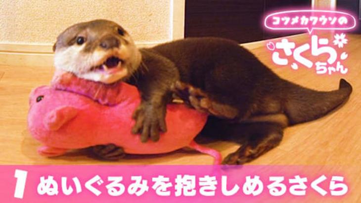#1 ぬいぐるみを抱きしめるさくら / コツメカワウソのさくらちゃん