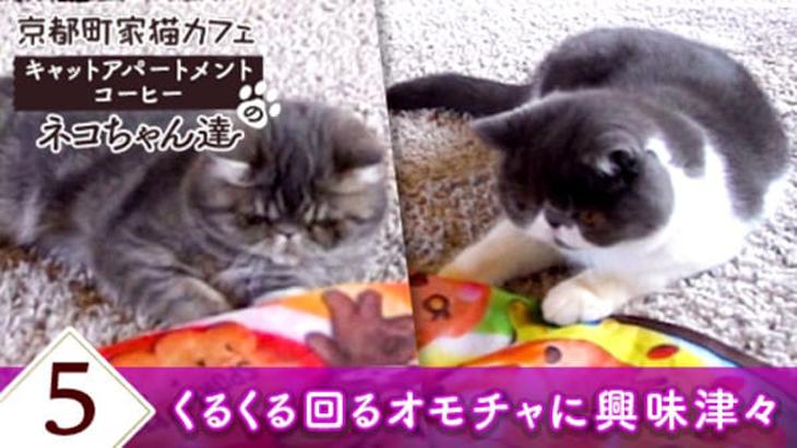 #5 くるくる回るオモチャに興味津々 / 京都町家猫カフェ キャットアパートメントコーヒー