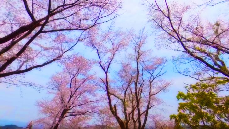 【4K360】MIYAZAKI桜VR~天孫降臨の地 宮崎の桜の名所を巡る~:2枚目