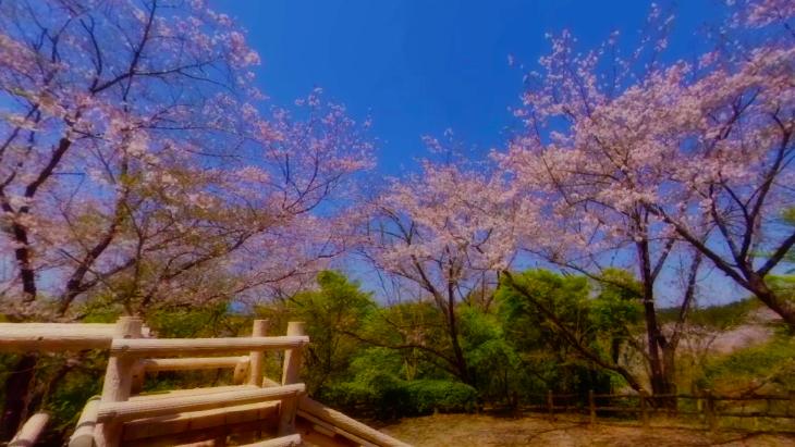【4K360】MIYAZAKI桜VR~天孫降臨の地 宮崎の桜の名所を巡る~:5枚目