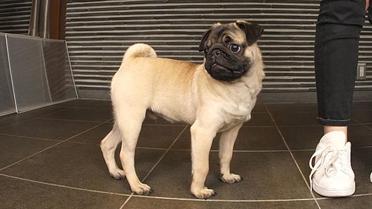 松本秀樹のVR犬図鑑!可愛い!はなぺちゃ犬編(狆、パグ、ブリュッセル・グリフォン、ペキニーズ):2枚目