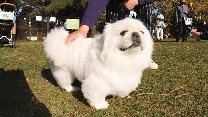松本秀樹のVR犬図鑑!可愛い!はなぺちゃ犬編(狆、パグ、ブリュッセル・グリフォン、ペキニーズ):4枚目