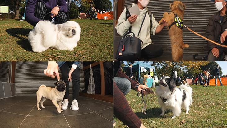 松本秀樹のVR犬図鑑!可愛い!はなぺちゃ犬編(狆、パグ、ブリュッセル・グリフォン、ペキニーズ):5枚目