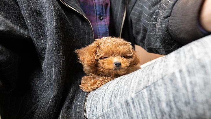 松本秀樹のVR犬図鑑!小型犬パピー編(ヨークシャー・テリア、ポメラニアン、シー・ズー、トイ・プードル):2枚目